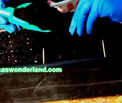 10 mistakes that will ruin your tomato seedlings Growing tomatoes for many has become a kind of ritual with its own secrets, tricks and little tricks. This special observation process