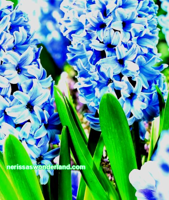 14-HYACINTHS - fragrant touching flower by March 8