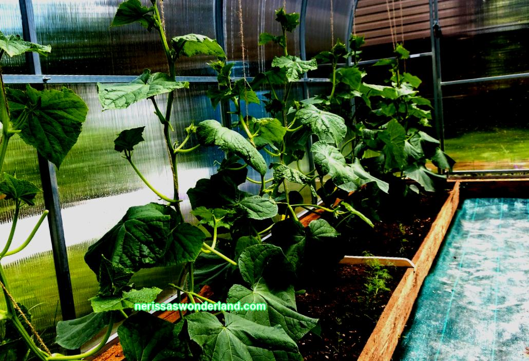 15 secrets of how to grow a good tomato crop