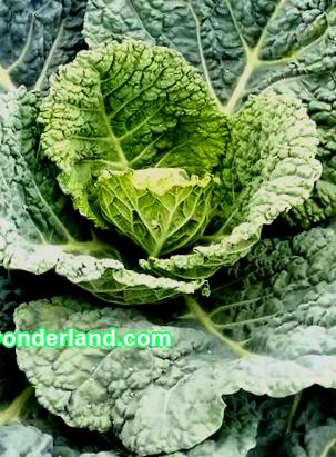 Savoyska cabbage - roslina is not vibrant, it can be done in young, climatic minds with minimal attention. The roslin was not sick and did not die, it is necessary to carry out the prevention of ailments and the fight against comas.