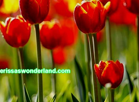 Diseases of tulips and their treatment