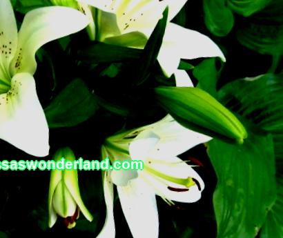 Lily; favorite flowers, types and growing conditions