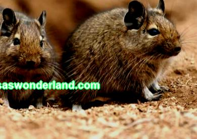 DIY degu house Degu house Degu house To keep your pet or degu pets comfortable, it is imperative that their cage