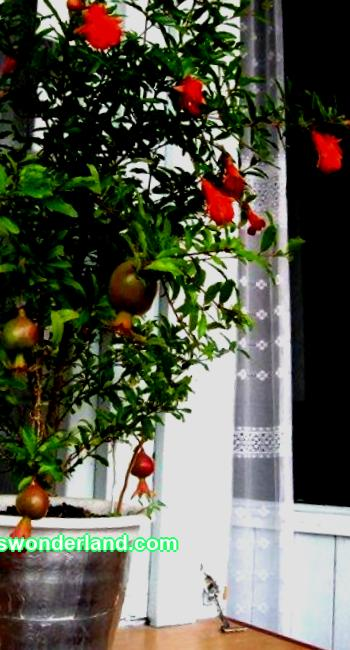 """Anyone can pick useful pomegranate fruits right from the window. It is enough to create a room type of this tree and enjoy it. The """"Baby"""" variety is especially suitable - a compact, not capricious plant. I grow it from seeds. They can be bought easily now ..."""