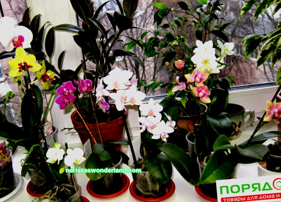 How to extend the life of a donated orchid