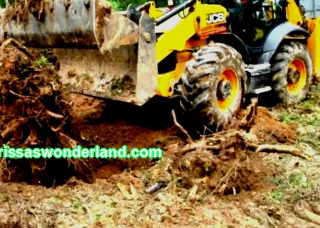 How to remove a stump: cardinal and