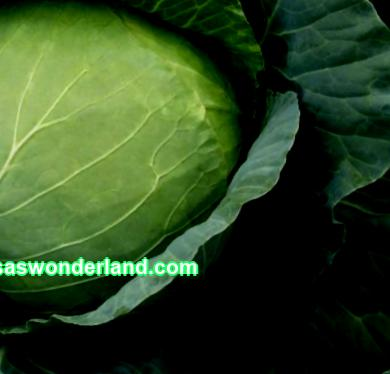 Kharkiv winter cabbage: variety description, photos, reviews