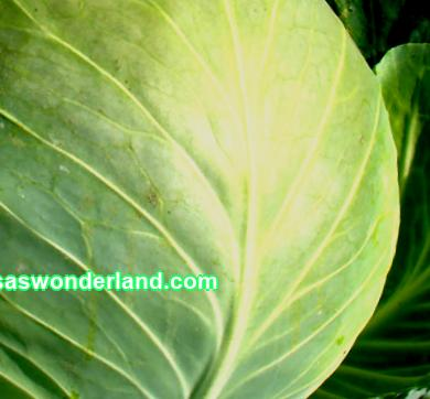 Kharkiv cabbage: breeding history, description and characteristics. Planting and growing conditions, diseases, pests. Advantages and disadvantages, reviews with photos.
