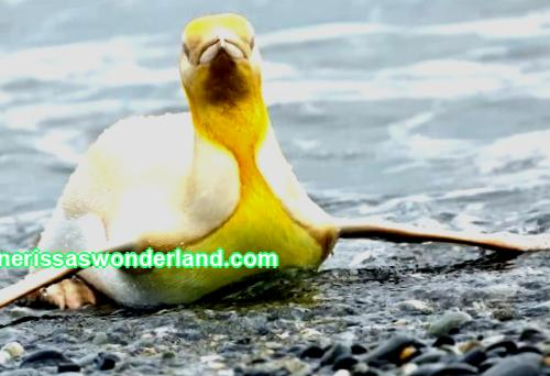 A photographer finds a yellow penguin for the first time in history