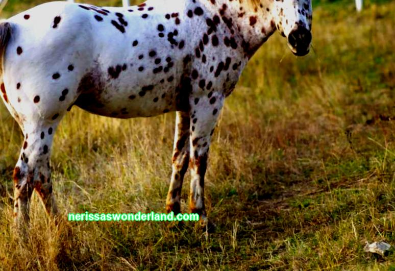 Appaloosa horse breed