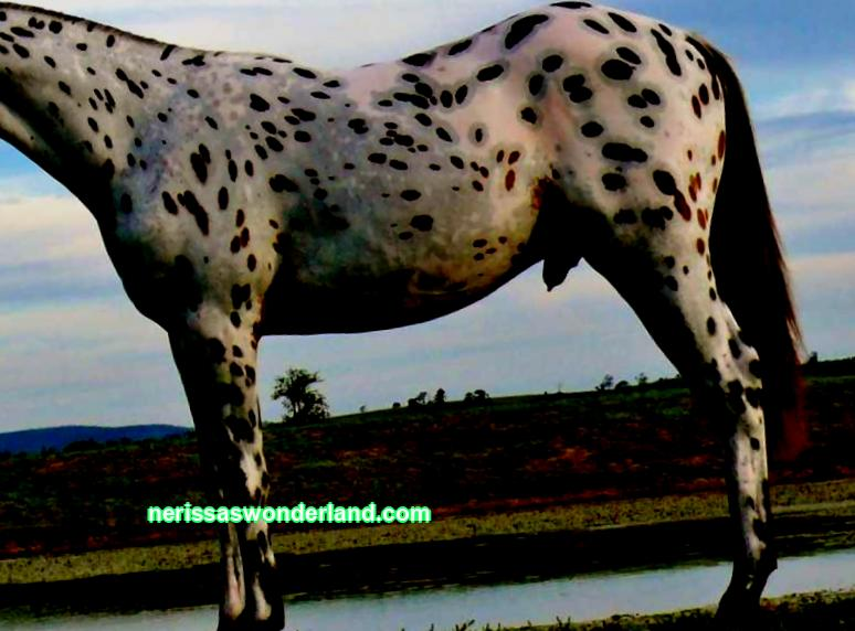 Origin of the Appaloosa horse breed, characteristics: exterior, character, color. Pros and cons of breeding, feeding advice and care rules.