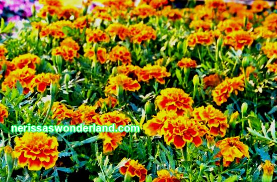 On city flower beds, in front gardens and on balconies of high-rise buildings from June until the very frost, bright and unpretentious marigolds delight us with their sunny petals, or ...