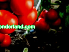 Find out when to plant low-growing tomatoes for seedlings for growing in a greenhouse and open field in 2021 and the timing of planting low-growing tomatoes in the Moscow region, Siberia, the Leningrad region, the Kuban and the Urals.
