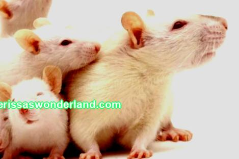 White domestic rat and its conditions of detention