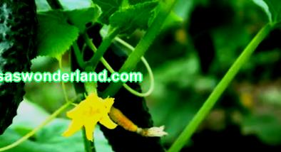 Cucumber: planting and care in the greenhouse and in the open field