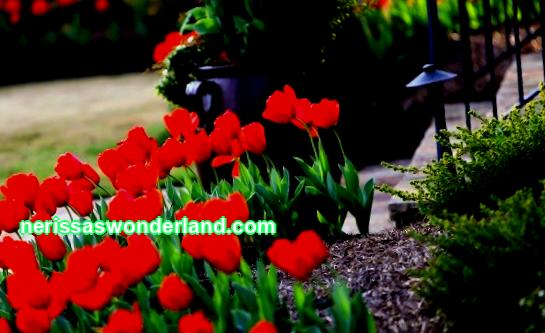 Planting tulips in spring and autumn