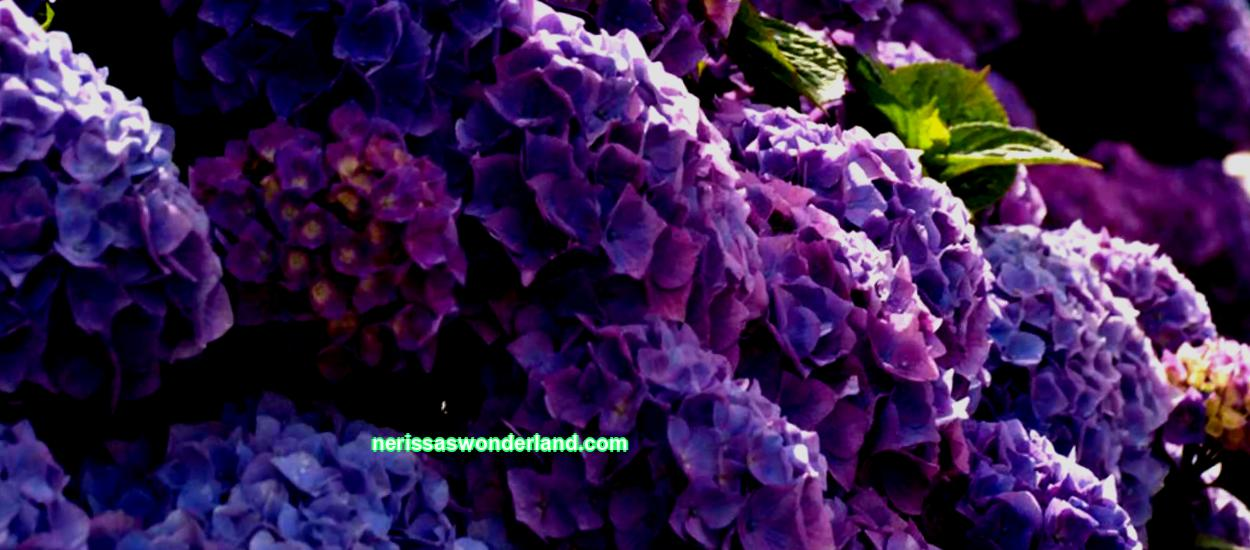 Garden hydrangea: photo, description, planting and care