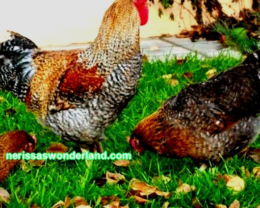 How to feed laying hens at home