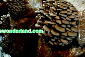 Technology for growing oyster mushrooms at home: two methods