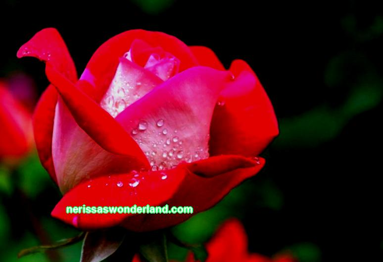 How to feed roses in spring for lush flowering in the garden